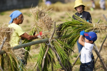 古代米の稲刈り