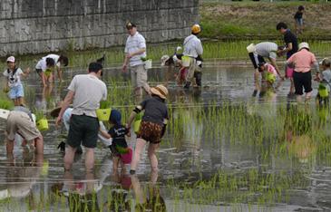 古代米の田植え
